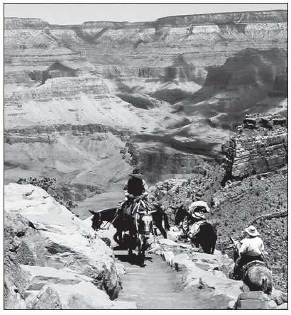 MULES CARRY VISITORS DOWN THE KAIBAB TRAIL AT GRAND CANYON