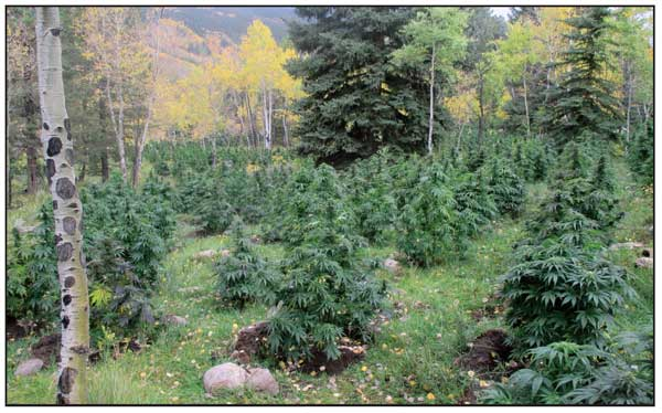 ILLEGAL CANNABIS GROW SITE ALONG THE DOLORES RIVER