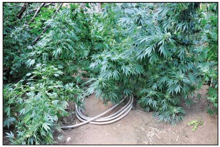 CANNABIS PLANTS CULTIVATED ILLEGALLY ALONG THE DOLORES RIVER