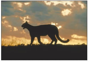 MOUNTAIN LION IN A FIELD WITH THE SUN SETTING IN THE BACKGROUIND