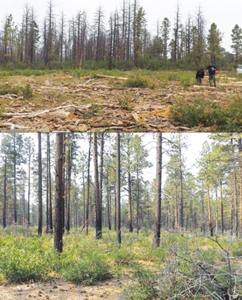 BEETLE-KILLED AND THINNED PONDEROSA PINE TREES