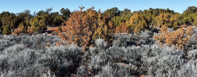 A widespread die-off of juniper trees in southeastern Utah is being reported. Here, a mixture of live and dead junipers is seen along the Utah-Colorado border. The cause of the die-off is unknown, but there is speculation that it's related to the warmer, drier winters being produced by climate change and/or the ongoing drought in the Southwest.